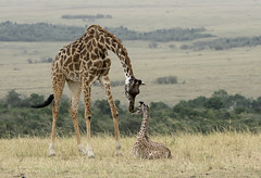 Tender Moment between Young Giraffe and its Mother