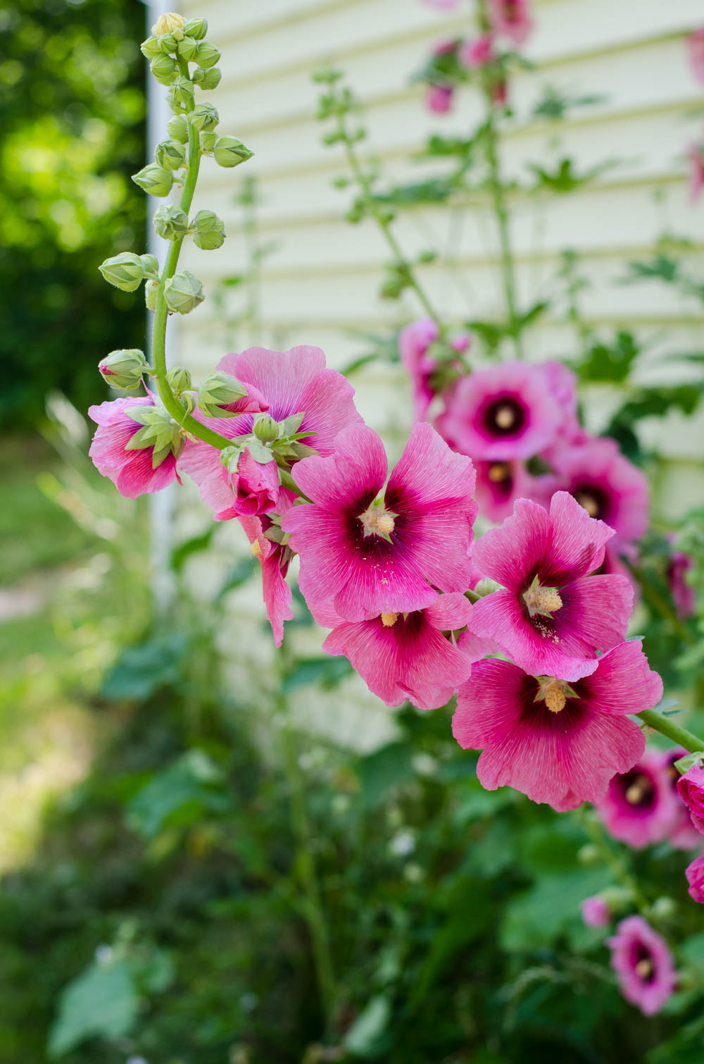 The Story of the Hollyhocks