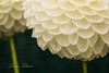 """Lollipop"" Creative White Dahlias - RHS Wisley Gardens by Lauren Taliana"