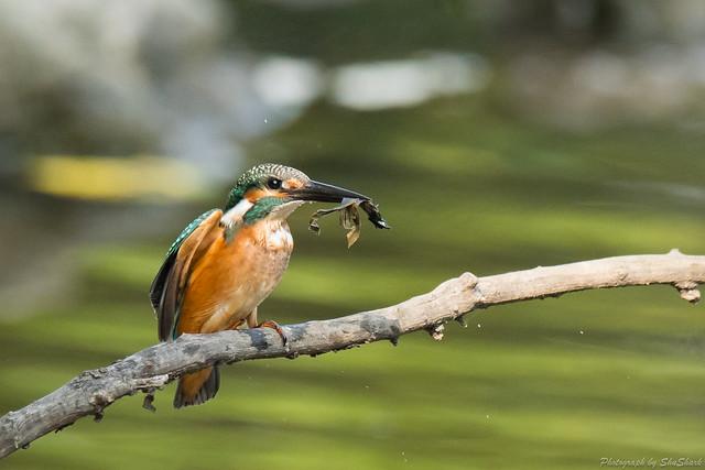 20170910-kingfisher-DSC_2759
