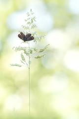 L'arbre à papillon.