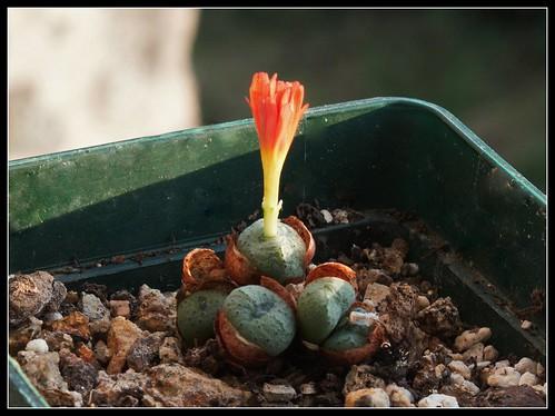 Conophytum auriflorum x velutinum 37390156276_bd27db3952