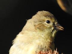American Goldfinch eating sunflower seeds in Greenbelt Community Garden