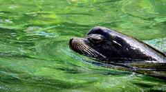 Show Time...Sea Lion....Bronx Zoo
