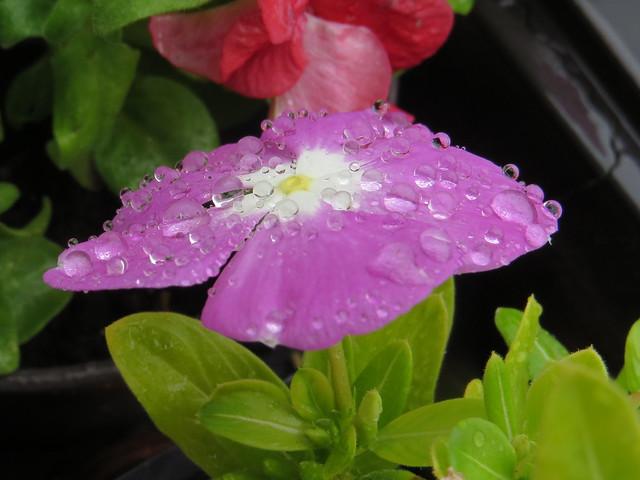 The rainfancied . . Esőcseppek., Canon POWERSHOT SX260 HS