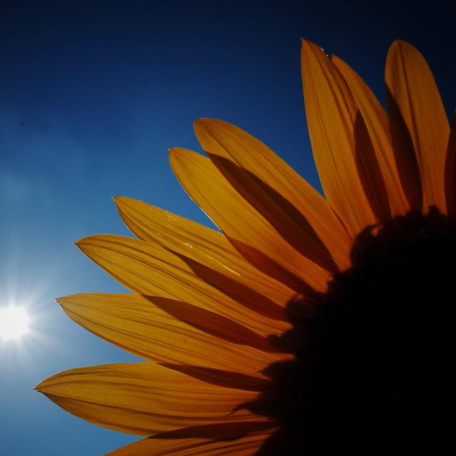 晩夏の向日葵