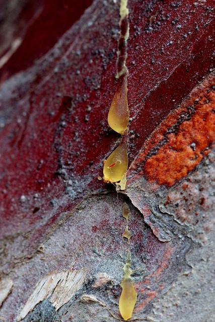 Pine tree tears, Canon EOS REBEL T3I, Canon EF 100mm f/2.8 Macro USM