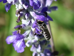 Leafcutter Bee sp.