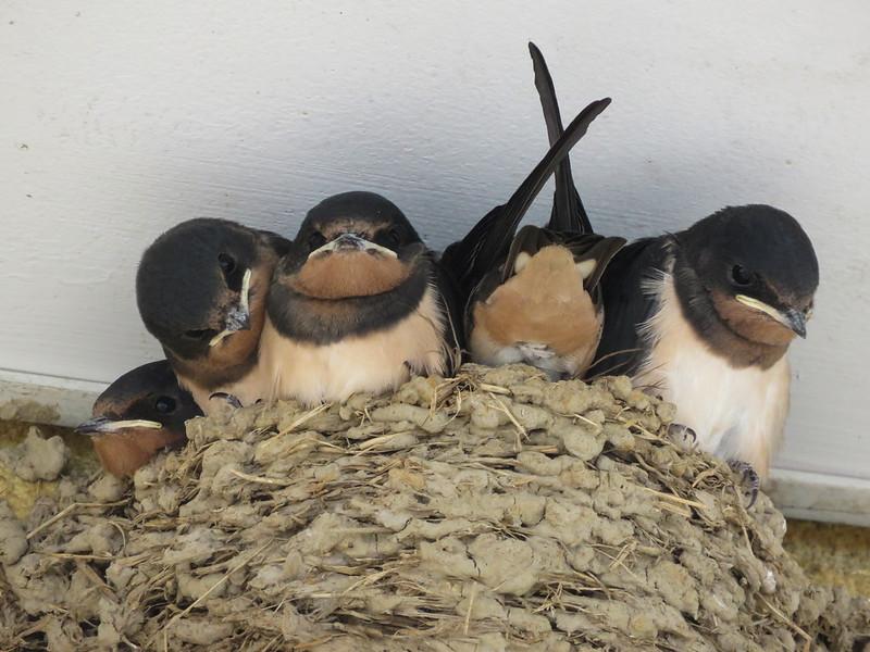 Young barn swallows