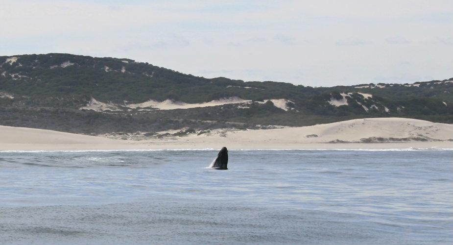 Walvissen spotten in Zuid-Afrika: Hermanus | Mooistestedentrips.nl