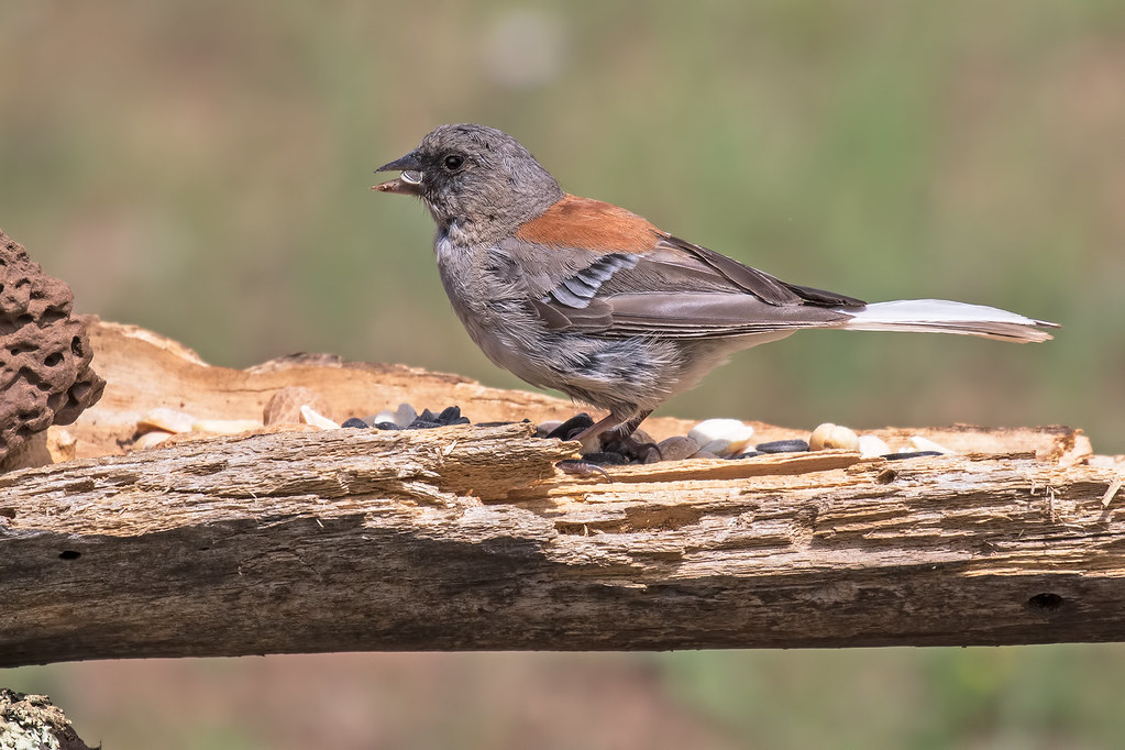 Dark-eyed-Junco(Red-back)-5-7D2-081217