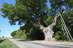 Chêne pédonculé / Peduculate oak 'Chêne avaleur de Vierges', Brésilley (France)