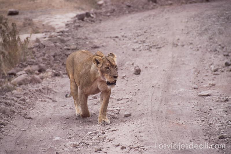 leona en el cráter de Ngorongoro