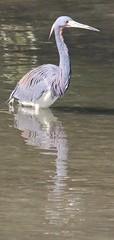 Birdlife , Honeymoon Island . FL .