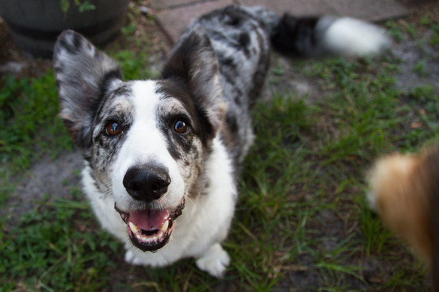 Byron Cardigan Welsh Corgi 7th Birthday