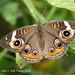 Common Buckeye by Deborah Kral