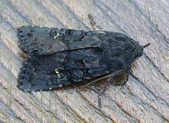 Black Rustic Aporophyla nigra Tophill Low NR, East Yorkshire September 2017