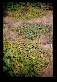 Land Races Of Sweet Potato = サツマイモの在来品種