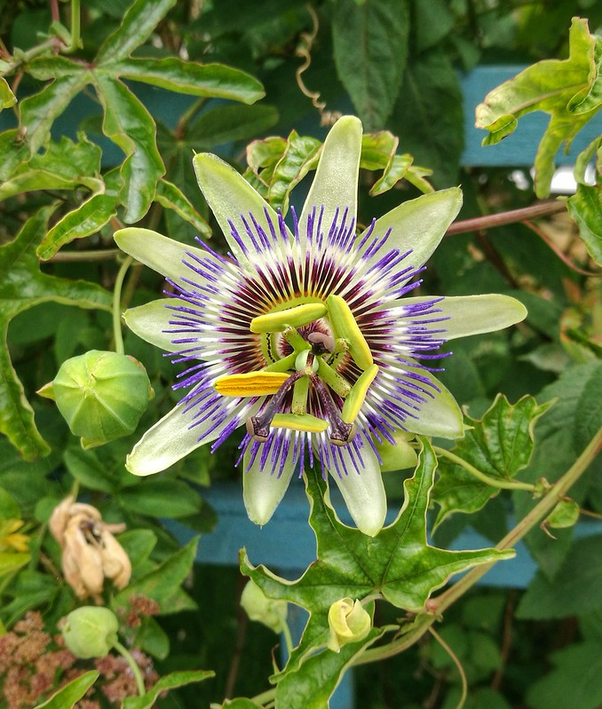 A passion flower in South London