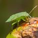 Green shieldbug3