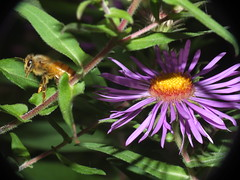 Honey Bee Flying Off Of An Aster Flower SOOC DSCF4346