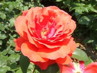 谷津バラ園の薔薇 06
