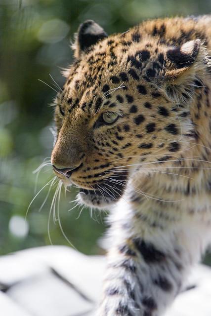 Male Amur leopard walking