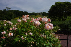 Rosa 'Perle d'Or' (polyantha rose), Heritage Rose Garden, National Herb Garden, US National Arboretum