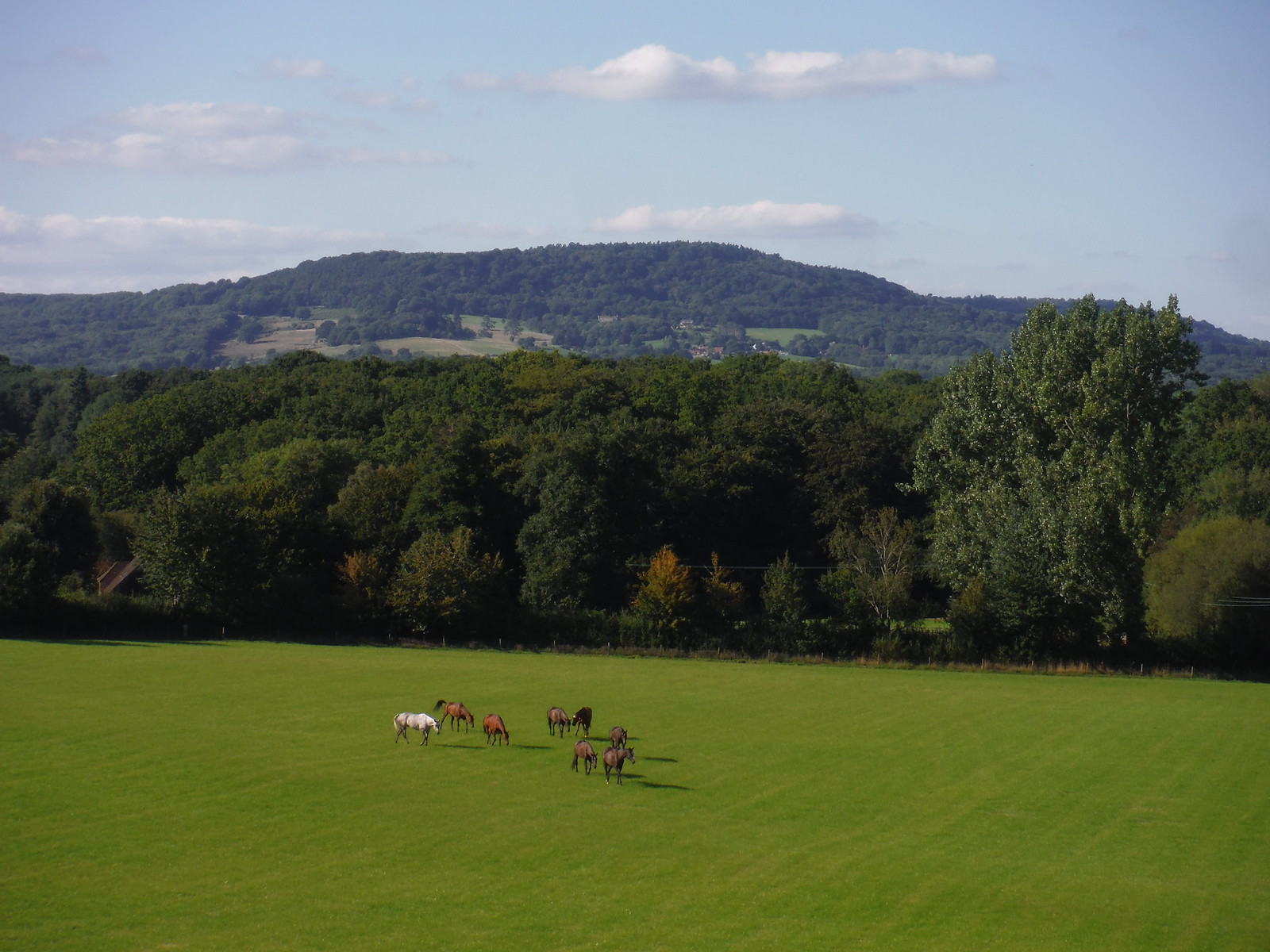 Horses in Field and Black Down SWC Walk 294 - Pulborough to Halfway Bridge (via Tillington)