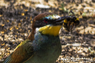 Abejaruco europeo retrato ( Merops apiaster) I