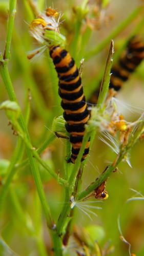 Ragwort, almost eaten by cinnabar moth caterpillars
