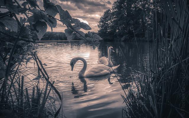 swan`s lake