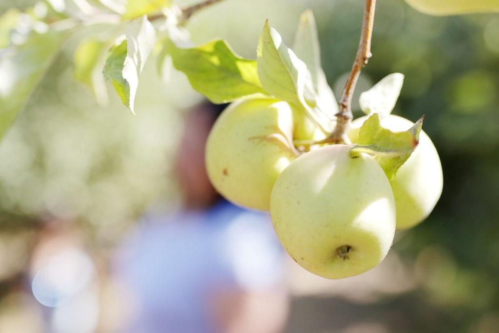apple picking 2017