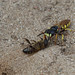 Bee Killer Wasp (Bee Wolf) Dragging A Bee