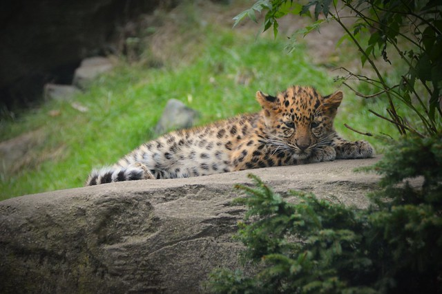 Awakens from sweet dreams | Young Amurleopard