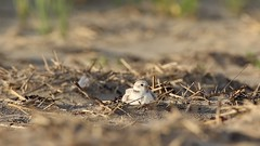Piping Plover brooding