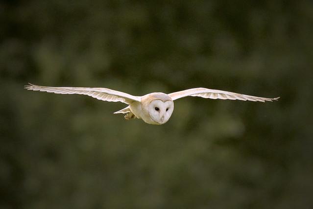Barn Owl, Nikon D610, AF-S Nikkor 500mm f/4D IF-ED II