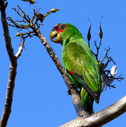 Amazone à front blanc - White-fronted Parrot