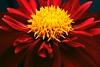 Seductive Red Creative flower centre by Lauren Taliana