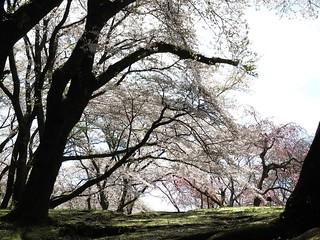 泉自然公園 39 桜トンネル