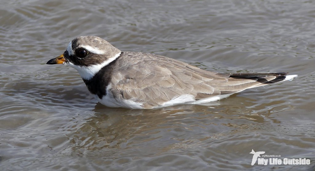 P1120238 - Ringed Plover
