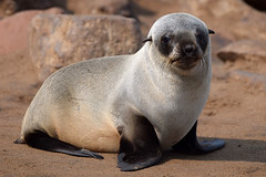 Cape Fur Seal Pup (Arctocephalus pusillus), Cape Cross, Namibia