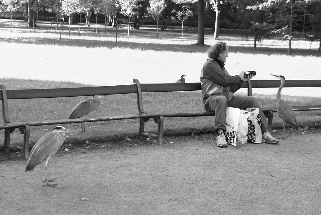 On peut nourrir des pigeons ou des hérons comme ici au parc de Frederiksberg à Copenhague.