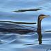 cormorant 19 2017
