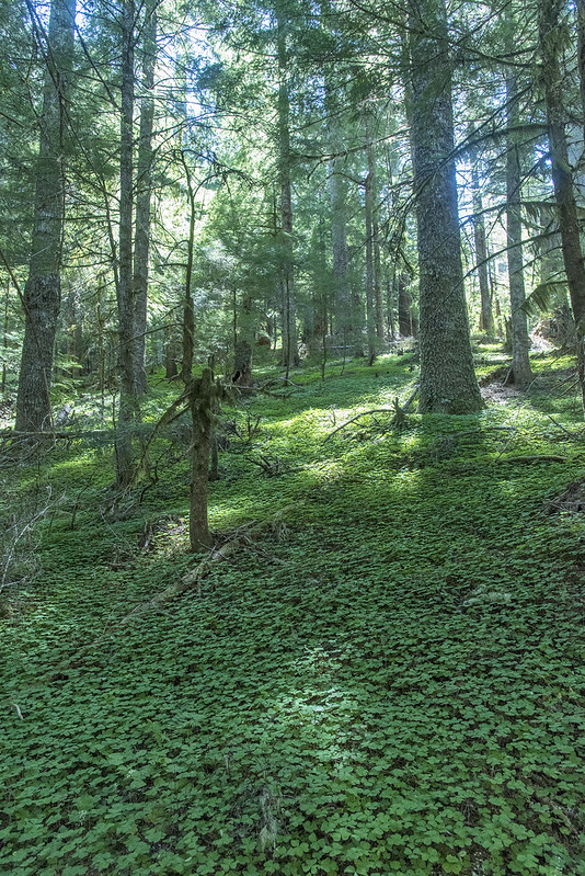 Old growth Noble Firs in a bed of clover