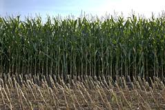 Ripening Corn Crop