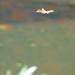 Brown hawker dragonfly on patrol