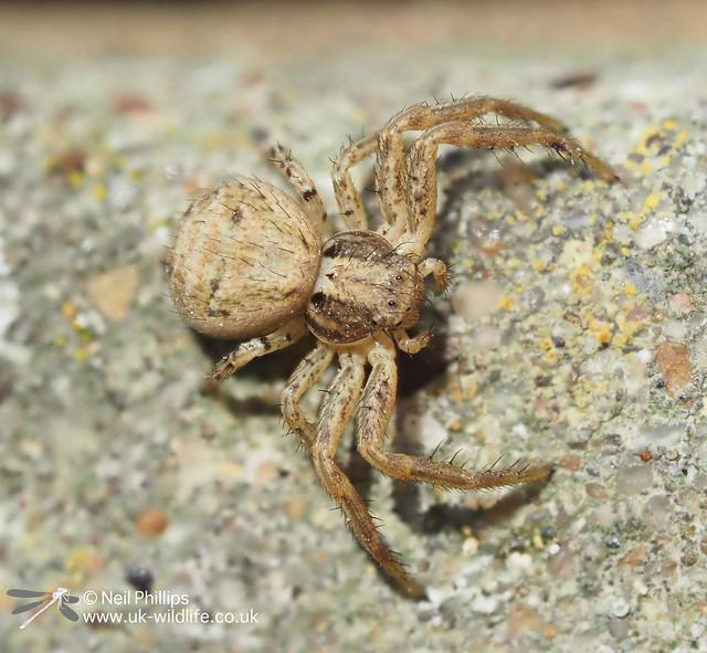 Xytiscus crab spider - 8 image stack