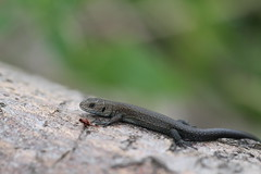 Neonate Lizard - Epping Forest. 作者 ChristianMoss