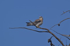 Black shouldered Kite ( its a long wait between meals )